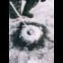Шабалка телескопическая